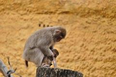 De kvinnliga japanska macaquesjuksköterskorna behandla som ett barn Fotografering för Bildbyråer