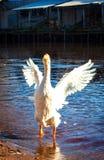 De kwade gans, die zijn vleugels fladderen Royalty-vrije Stock Foto