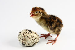 De kwartels en het ei van de kip Royalty-vrije Stock Fotografie