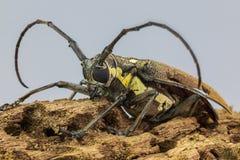 De långa bålgetingkrypen i gräshoppaforum arkivfoton