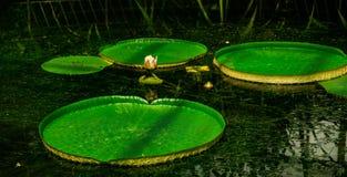 De l'eau fleur lilly Image stock