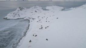 De la Antártida del lobo marino de la colonia del enfoque opinión aérea hacia fuera metrajes