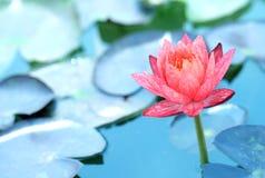De la belleza del agua flor lilly Loto rosado Fotografía de archivo