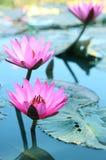 De la belleza del agua flor lilly Loto rosado Imagen de archivo