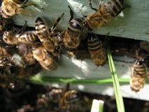 De la entrada de la colmena, arrastramiento de las abejas hacia fuera Imagenes de archivo