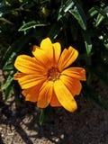 De la flor cierre anaranjado para arriba Fotografía de archivo libre de regalías