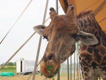 De la jirafa cierre para arriba Fotografía de archivo libre de regalías