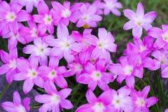 De la lluvia flor rosada del flor lilly Imágenes de archivo libres de regalías