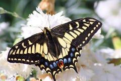 De la mariposa cierre para arriba Imagen de archivo