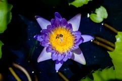 De la púrpura insunshine waterlilly Fotos de archivo libres de regalías