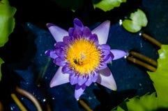 De la púrpura insunshine waterlilly Imagen de archivo libre de regalías