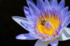 De la púrpura insunshine waterlilly Fotografía de archivo libre de regalías