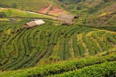 ` 2000 de la plantación de té s Foto de archivo libre de regalías