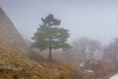 De laag-kweekt hoogte van de pijnboomboom in de bergen op de nevelige herfst stock afbeelding