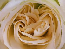 De laag van perzikkleur nam bloemblaadje toe royalty-vrije stock afbeeldingen