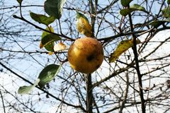 De laatste appel Royalty-vrije Stock Fotografie
