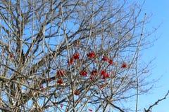 De laatste bessen van viburnum op droge takken in de recente herfst stock afbeeldingen
