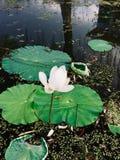 De laatste bloeiende lotusbloem in de vijver dichtbij de herfst stock foto