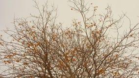 De laatste gouden slingering van de herfstbladeren in een wind bij donkere dag stock video