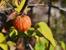 De laatste rode verschrompelde appel op een tak in recent Oktober op een warme zonnige dag stock afbeeldingen
