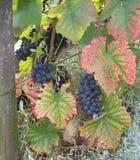 De Laatste Wijngaard in Monmartre, Parijs, Frankrijk Stock Foto's
