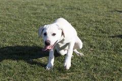 De Labrador royalty-vrije stock afbeeldingen