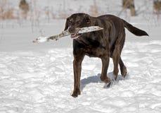 De Labrador van de chocolade Stock Afbeeldingen
