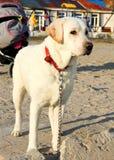 De labradorhond bewaakt met fouten Stock Foto's