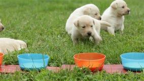 De labradorpuppy ontdekken de nieuwe aroma's van voedsel stock footage