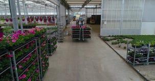 De lader draagt kleurrijke bloemen in de serre, kwekend bloemen in de serre, industriële het groeien bloemen stock footage
