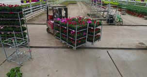 De lader draagt kleurrijke bloemen in de serre, kwekend bloemen in de serre, industriële het groeien bloemen stock videobeelden