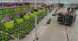 De lader draagt kleurrijke bloemen in de serre, kwekend bloemen in de serre, industri?le het groeien bloemen stock footage