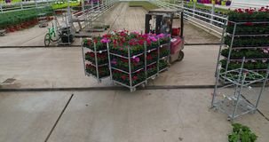 De lader draagt kleurrijke bloemen in de serre, kwekend bloemen in de serre, industri?le het groeien bloemen stock video