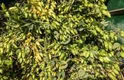 De lading van hop plant koorden in wagen, Bewezen België stock afbeelding
