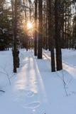 De lage avondzon glanst door de bomen in de winter fores Royalty-vrije Stock Fotografie