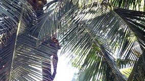 De lage hoek schoot de mens zit op palmboomstam het oogsten kokosnoten stock videobeelden