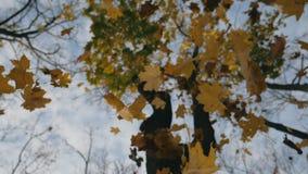 De lage mening over hoge boom en gele esdoorn verlaat het vallen aan grond in de herfst bos Dichte omhooggaand van helder geblade stock footage