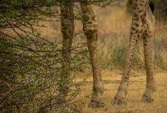 De lagere helften benen van een giraf stock fotografie