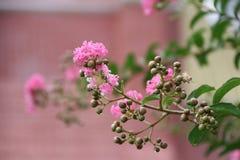 De Lagerstroemiabloem of omfloerst mirtle bloeit het een hoge vlucht nemen op de tak van boom royalty-vrije stock fotografie