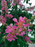 De LagerstroemiaSpeciosa blommorna Royaltyfri Bild