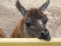 De lama denkt Stock Afbeeldingen