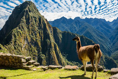De lama Machu Picchu ruïneert de Peruviaanse Andes Cuzco Peru Royalty-vrije Stock Foto's