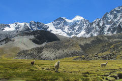 De lama's op berg groene weide dichtbij sneeuw zetten op royalty-vrije stock foto's
