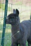 De Lama van de baby slechts een oude week Royalty-vrije Stock Fotografie