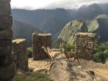 De Lama van Machupicchu Royalty-vrije Stock Foto's