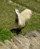 De lama van Machupicchu, Peru Royalty-vrije Stock Afbeeldingen