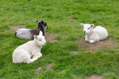 De lammeren die in gras liggen, springen nieuw op - geboren stock afbeelding