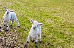 De Lammeren van de lente Stock Fotografie