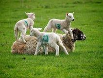 De Lammeren van de lente Stock Foto's