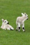 De Lammeren van de lente Royalty-vrije Stock Afbeeldingen